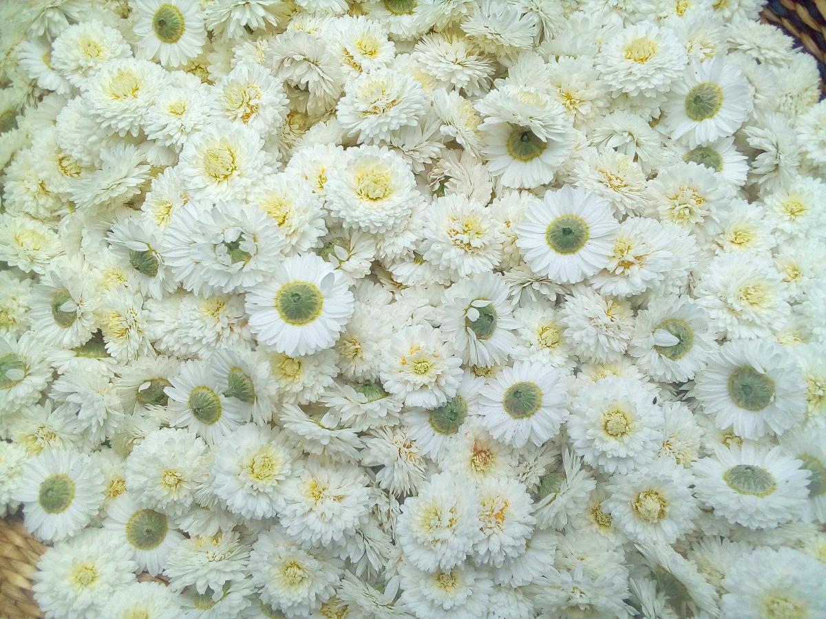Les cueillettes de juin : zoom sur 3 fleurs blanches